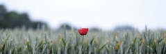 Lone poppy (Wouter de Bruijn) Tags: fujifilm xt2 fujinonxf56mmf12r flower flowers poppy poppies flora grain wheat cereal crop farming nature outdoor bokeh depthoffield minimal minimalism minimalist aagtekerke walcheren zeeland nederland netherlands holland dutch