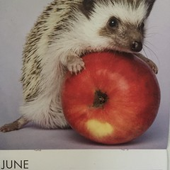 2018-6-1 June hedgehog