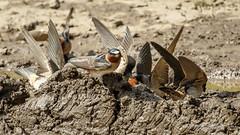 Cliff Swallows gathering mud for nest building (Bob Gunderson) Tags: birds california cliffswallow lastchancecanyon northerncalifornia petrochelidonpyrrhonota plumascounty sierras swallows