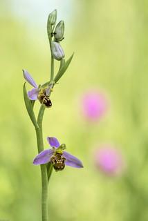 *Bienen-Ragwurz @ Ophrys apifera*