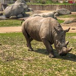 Neushoorn, Wildlands Adventure Zoo, Emmen, Netherlands - 1097 thumbnail