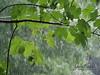 It's Raining (jan-krux photography - thx for 3 Mio+ views) Tags: bankya bulgaria europe europa bulgarien gewitterregen catsanddogs regen rain olympus omd em1mkii leaves blaetter blatt nass wet drops tropfen tree baum