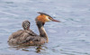 Great Crested Grebe (Danny Gibson) Tags: greatcrestedgrebe great crested grebe young juvenile chick bird birds birdwatching birdwatcher loughneagh sigma150600mmhsmosdg canon7dmk2 dgpixorguk wildlife fauna flaura nature