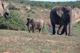 Elephants at Addo