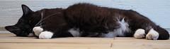 Tussi panorama kitty (vanstaffs) Tags: tussi tuzz tuxedocat t tux tusse tuzz® myprettyliltuxedogirl