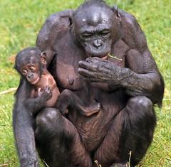 bonobo apenheul BB2A1748 (j.a.kok) Tags: aap animal africa afrika ape apenheul bonobo mammal monkey mensaap motherandchild moederenkind jill eyenga primaat primate dwergchimpansee zoogdier dier