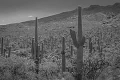 the old west (jimmy_racoon) Tags: 1740mm f4l canon 5d mk2 bw black white saguaro national park arizona cactus desert landscape 1740mmf4l canon5dmk2 blackwhite saguaronationalpark