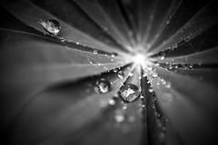 rain (joy.jordan) Tags: lupine raindrops reflection bokeh blackandwhite nature mybackyard