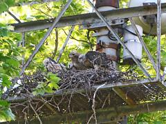 GT Feeding - 0050 (rbs10025) Tags: redtailedhawk buteojamaicensis grantstomb generalgrantnationalmemorial morningsideheights manhattan nyc bird nest young