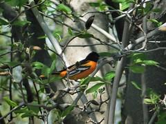 Baltimore Oriole (kathystokes3) Tags: birds orange summer baltimore baltimoreoriole