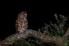 What's that? 750_0700.jpg (Mobile Lynn) Tags: birds tawnyowl wild owls nature bird fauna strigiformes strixaluco wildlife nocturnal otterbourne england unitedkingdom gb coth specanimal coth5 ngc npc