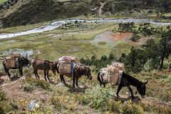 Mules and horses near Robluthang - Gasa District - Snowman Trek - Bhutan (PascalBo) Tags: nikon d500 asie asia southasia asiedusud drukyul drukgyalkhap bhutan bhoutan འབྲུག་ཡུལ། འབྲུག་རྒྱལ་ཁབ་ snowman trek trekking hike hiking lunana himalaya himalayas jigmedorjinationalpark gasa river rivière horse mule landscape paysage outdoor outdoors pascalboegli