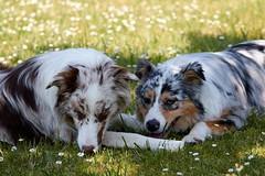 IMG_2801 (mpreitz) Tags: australianshepherd dogs nature
