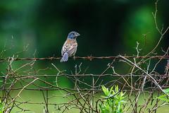 Blue Grosbeak (Maggggie) Tags: bird bluegrosbeak fence barbed wire green blue orange