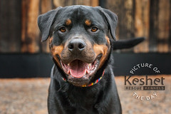 "Picture of the Day (Keshet Kennels & Rescue) Tags: run play soft light rescue kennel kennels adoption ""dog adoption"" ottawa ontario canada keshet large breed dogs animal animals pet pets ""blood bank"" interactive game video field tree forest dog rottweiler headshot portrait wood backdrop"
