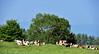 Instant paisible (Diegojack) Tags: grancy vaud suisse d7200 campagne paysages paisible troupeau bovins vaches repos groupenuagesetciel