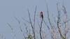 516.3 Roodmus-20180526-J1805-5O6A0324 (dirkvanmourik) Tags: aves bird carpodacuserythrinus commonrosefinch duinen duinreservaatcastricum dunereserve erythrinaerythrina nederland oiseaux roodmus vogels