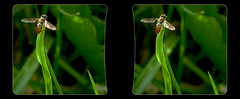 Hoverfly Sunbathing 1 - Parallel 3D (DarkOnus) Tags: hoverfly sunbathing pennsylvania buckscounty panasonic lumix dmcfz35 3d stereogram stereography stereo darkonus closeup macro insect parallel
