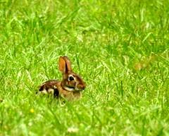Rabbit-002 (TerraPuella) Tags: rabbit deer white tail tennessee wildlife spring