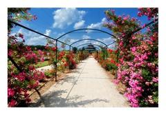 Rose garden (pusiga) Tags: fertõd hungary