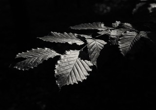 Blätter s/w
