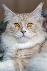 Pablo looking right at me! (Tambako the Jaguar) Tags: mainecoon cat domestic male feline portrait close face posing looking beige white cream tabby fällanden zürich switzerland nikon d5