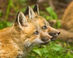 IMGL1345 Pugwash Red Fox Kit(s) (Wallace River) Tags: foxes novascotia pugwashfoxes redfoxes