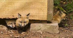 IMGL1278 Pugwash Red Fox Kit(s) (Wallace River) Tags: foxes novascotia pugwashfoxes redfoxes