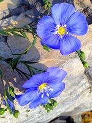 Wildflowers ... (Mr. Happy Face - Peace :)) Tags: macromondays thursdayflower art2018 glow textures patterns petals closeup blue macromademoiselle