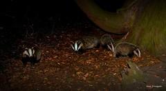 The Badger Family - June 2018  - Buckinghamshire (Alan Woodgate) Tags: badgers family wild uk