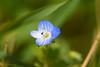 Weed?... Indeed! ;-) (Maria Godfrida) Tags: 7dwf crazytuesdaytheme weed flower blue small tiny speedwell green nature flora closeup macro macromademoiselle