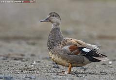 gadwall (anas strepera) (punkbirdr) Tags: kusmin nikon birds birding d500 500mmedafsif4 punkbirdrphoto gadwall anasstrepera