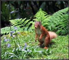 Red Squirrel. (marj.p. (Catching up!!)) Tags: redsquirrel cumbria nature naturephotography redsquirrelphotography holiday fujifilmfinepixhs50 bluebells flowers favouriteanimals