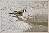 Chardonneret 180602-01-P (paul.vetter) Tags: europeangoldfinch jilgueroeuropeo pintassilgoeuropeu pintassilgo stieglitz oiseau ornithologie ornithology faune animal bird chardonneret élégant cardueliscarduelis