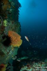 DUW_2349 (Volker Vierecke) Tags: australia bicheno tasmansea tasmania tauchen underwater