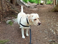 Gracie surveying the woods (walneylad) Tags: gracie dog canine pet puppy lab labrador labradorretriever cute june spring evening greenwoodpark