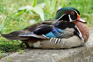 Wood Duck / Canard Carolin
