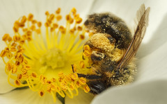Embrace (snomanda) Tags: solitary bee insect invertebrate animal arthropod mining wildlife macro closeup pollination pollen pollinator