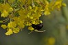 Delicacies (harefoot1066) Tags: fabaceae parkinsonia parkinsoniaflorida bluepaloverde cercidium cercidiumfloridum diptera aschiza syrphidae eristalinae volucellini copestylum syrphidfly copestylummexicanum mexicancactusfly