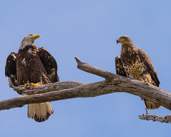 Out on a Limb... (ragtops2000) Tags: eagles eagle bald imature youngsters branch sitting close interesting raptor tree stare look quick detail feather spring