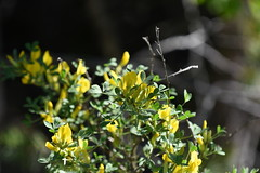 Cytisus elongatus (Fabaceae) (Iitti, 20180526) (RainoL) Tags: crainolampinen 2018 201805 20180526 cytisus cytisuselongatus d7200 fabaceae finland flower flowers geo:lat=6087425093 geo:lon=2650902272 geotagged kouvola kymenlaakso may plant plants shrub voikkaa fin
