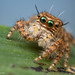 Immature (Hyllus sp?) jumping spider - Gorongosa National Park, Mozambique