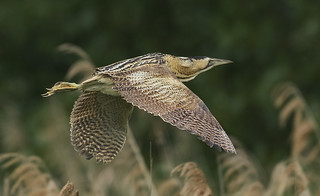 Bittern - I was top of the menu in medieval times!
