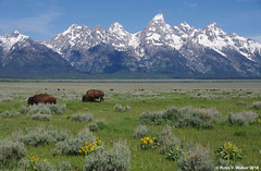 Symbols of the Old West (walkerross42) Tags: bison buffalo mountains grandteton nationalpark wildflowers arrowleafbalsamroot peaks herd grazing