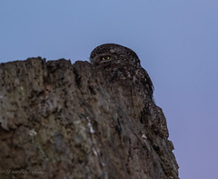 Local Little Owl (budgiepaulbird) Tags: littleowl tree canon7dmark2 100400mark2 cambridgeshire