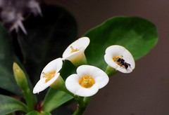 DSC_0049 (rajashekarhk) Tags: flower fly green colours colour incect macrophotography nikon nature naturephotography yellow bengaluru beauty flowerstudy rajashekar hkr