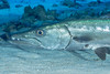 This great barracuda (Sphyraena barracuda) was just chilling under a rock ledge (jonmcclintock) Tags: underwater diving caymanbrac adventure caribbean scuba travel caymanislands
