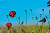 Amapolas (Peideluo) Tags: paisaje landscape nikon colores colors naturaleza spring campo nature blue red rojo azul cielo primavera amapolas poppy planta flor hierba