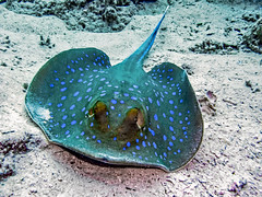 blue spotted stingray (werner boehm *) Tags: wernerboehm bluespottedstingray blaupunktrochen redsea egypt underwater unterwasser