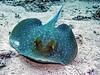 blue spotted stingray (werner boehm *) Tags: wernerboehm bluespottedstingray blaupunktrochen redsea egypt underwater unterwasser